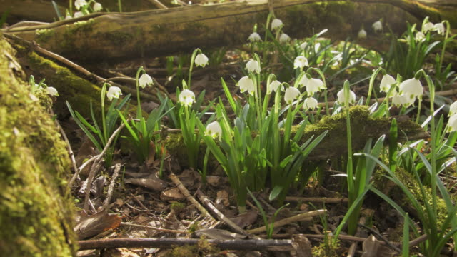 spring snowflake in forest - march month stock videos & royalty-free footage