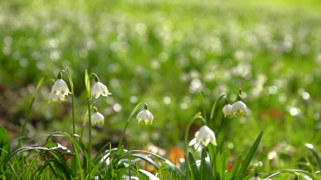 hd super slow-mo: spring snowflakes - snowdrop stock videos and b-roll footage