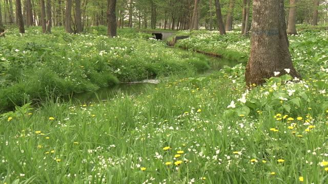 spring stream, hokkaido, japan - ranunculus stock videos & royalty-free footage