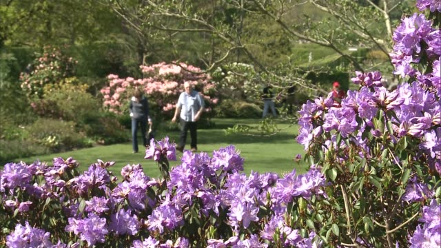 spring sunshine brings out the flowers england london wisley ext people walking through beds of tulips purple rhododendrons in bloom close shots of... - heather stock videos & royalty-free footage