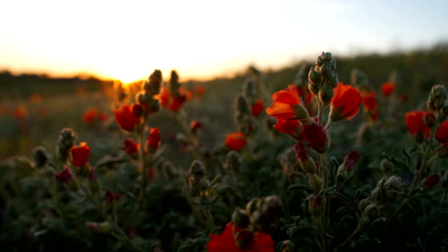 spring time in the desert: wild west - sonoran desert stock videos & royalty-free footage