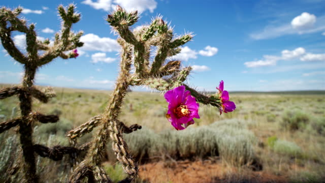spring time in the desert: wild west - cactus stock videos & royalty-free footage