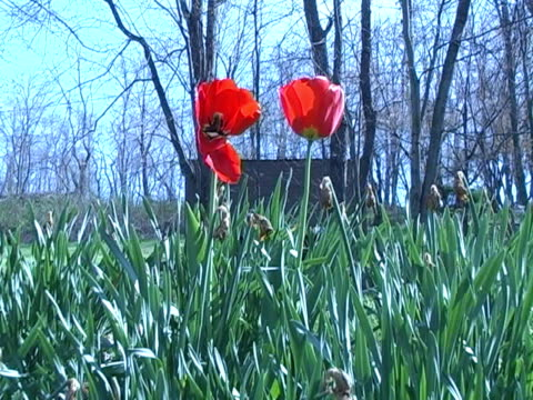 spring time - lily family stock videos & royalty-free footage