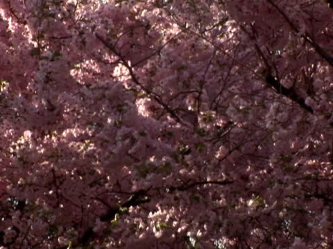 spring tree with zoom out - zoom out 個影片檔及 b 捲影像