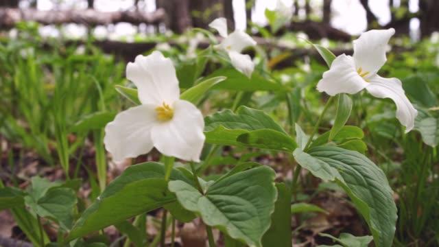 vídeos de stock e filmes b-roll de spring trillium wildflowers - trílio