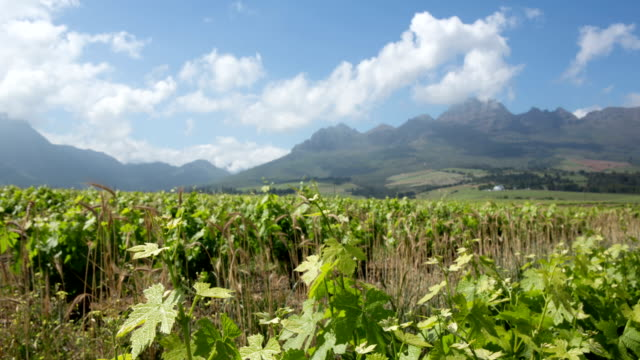 spring vineyards time lapse - stellenbosch stock videos and b-roll footage