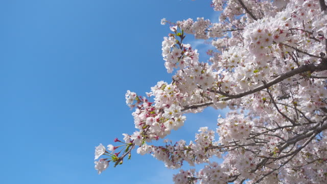 Spring White Cherry Blossoms with Blue Sky Backgrounds