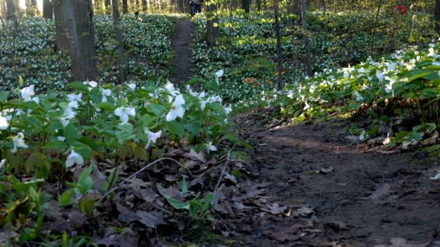spring white trillium wildflowers - trillium stock videos & royalty-free footage