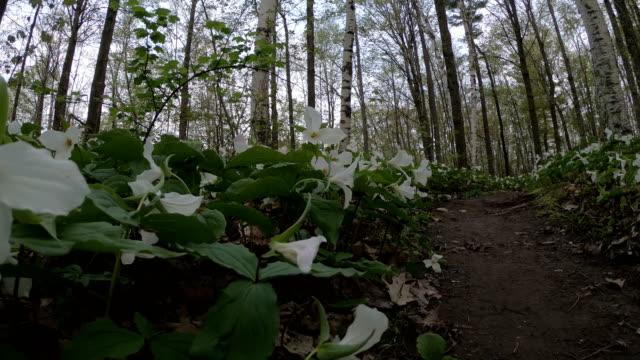 vídeos de stock e filmes b-roll de spring white trillium wildflowers - trílio