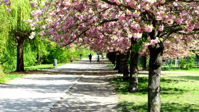 spring with blooming cherry tree in berlin - weg stock videos & royalty-free footage