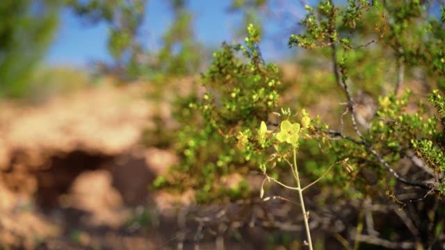 早春のアリゾナの砂漠の春の黄色い花 - ネバダ州クラーク郡点の映像素材/bロール