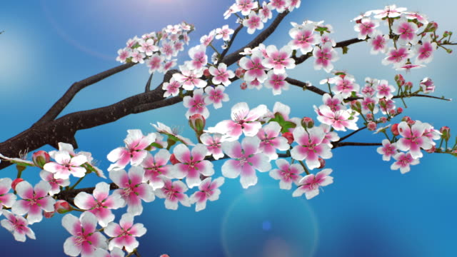 spring_cherry blossom - crescita video stock e b–roll