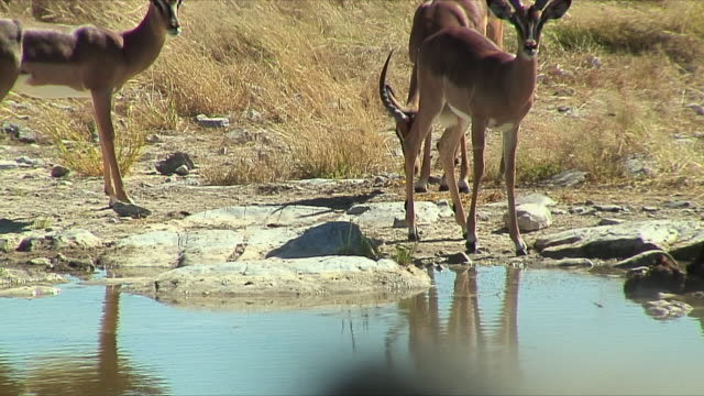 WS Springbok at waterhole / Etosha National Park, Namibia