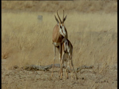 springbok fawn suckles and head butts mother impatiently - babyhood stock videos & royalty-free footage