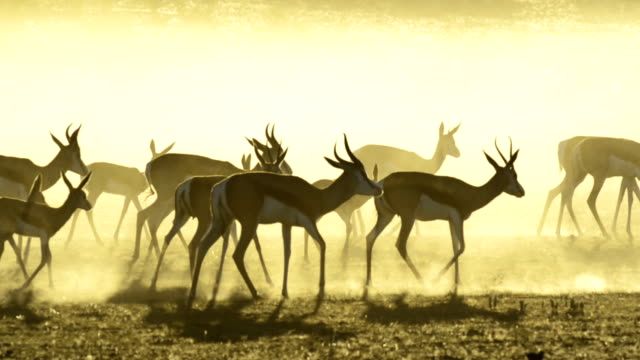 springbok herd at dawn - herbivorous stock videos & royalty-free footage