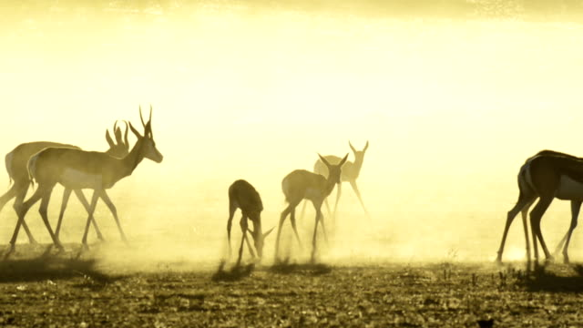 Springbok herd at dawn