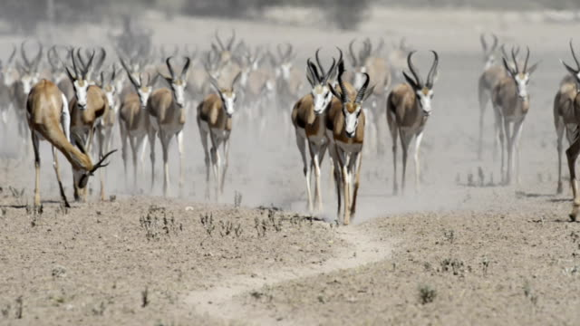 springbok herd walking - herbivorous stock videos & royalty-free footage