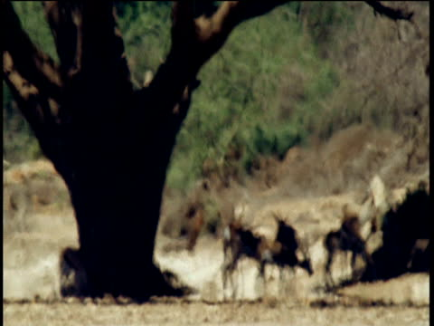 springbok in heat haze stand in shade of large tree, namibia - bbc stock videos and b-roll footage
