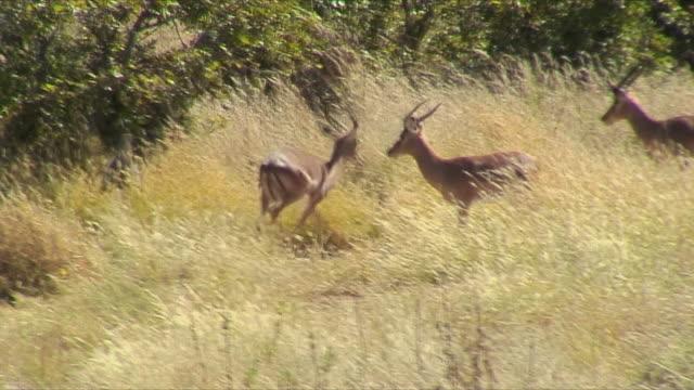 stockvideo's en b-roll-footage met ws springbok in small fight / etosha national park, namibia - vier dieren