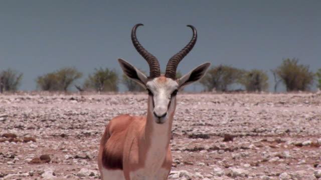 Springbok in the African Heat