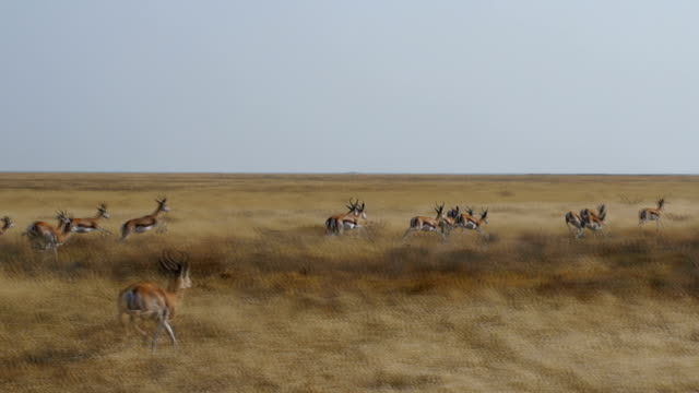 WS TS Springboks and Blue wildebeests in savannah / Namibia