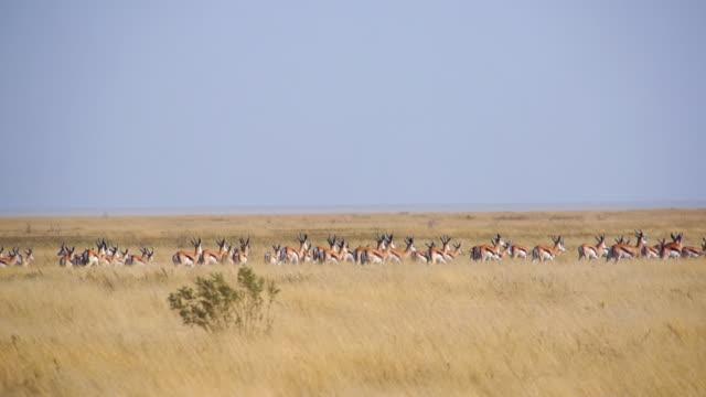 WS TS SLO MO Springboks in savannah / Etosha National Park, Namibia