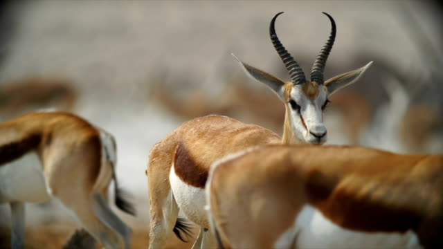 stockvideo's en b-roll-footage met ms springboks in savannah / namibia - gehoornd