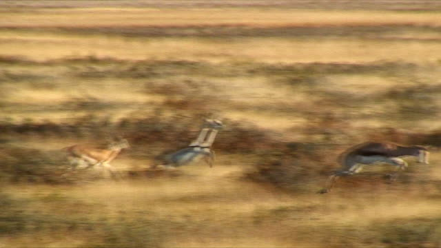 vidéos et rushes de ws zi pan springboks leaping through grass / etosha national park, namibia - troupeau