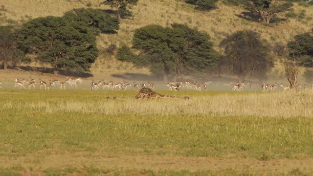 vídeos y material grabado en eventos de stock de estampida de springbok - desierto del kalahari