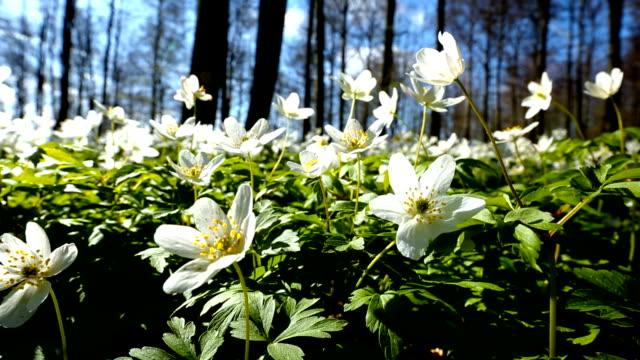 Springtime again - Anemone nemorosa