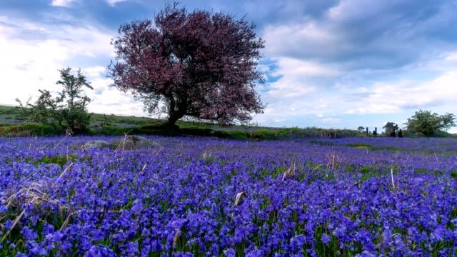 springtime bluebells - dartmoor stock videos & royalty-free footage