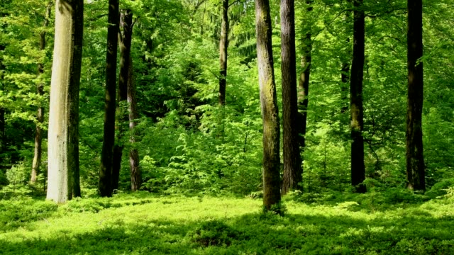 springtime in the forest, spessart, franconia, bavaria, germany - 森点の映像素材/bロール