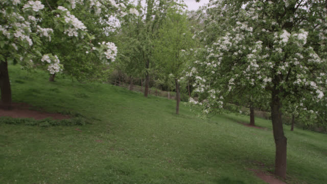 springtime orchard blossom on trees, herefordshire, england - orchard stock videos & royalty-free footage