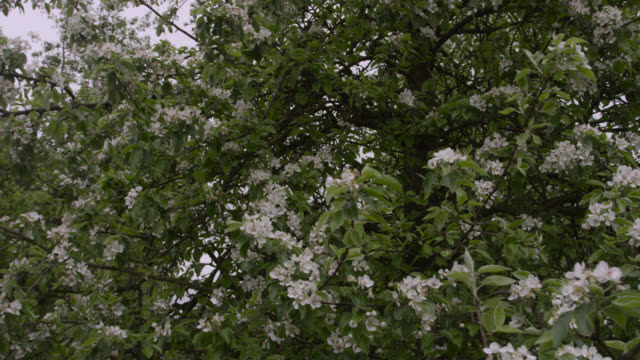 Springtime orchard blossom on trees, Herefordshire, England