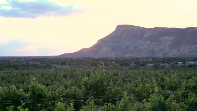 springtime vineyard at sunset - ripe stock videos and b-roll footage