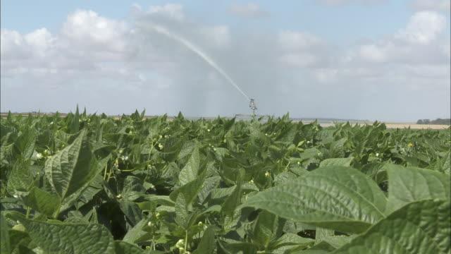 Sprinkler - French bean field