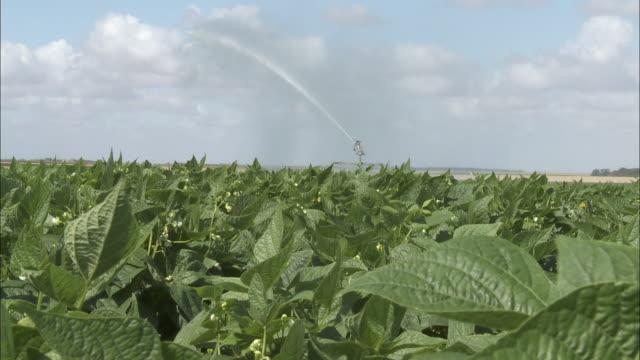 vidéos et rushes de a sprinkler system irrigates a french bean field. - arroser