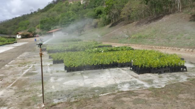 sprinklers are watering the seedlings at the nursery of instituto terra on november 22, 2019 in aimorés, brazil. twenty years ago, this land was... - irrigation equipment stock videos & royalty-free footage