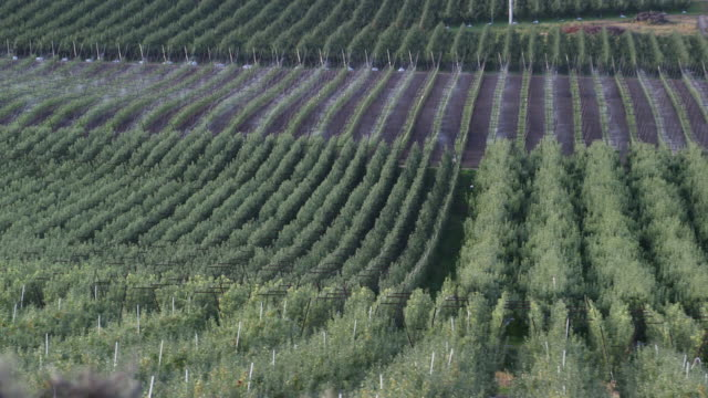 sprinklers running on apple farm distant - wiese video stock e b–roll