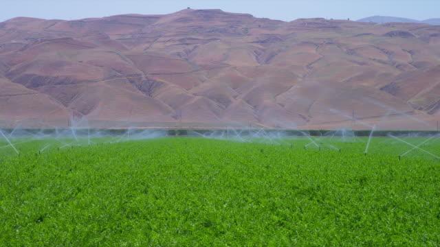 Sprinklers water a carrot crop in California.