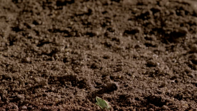 T/L, CU, Sprout growing in earth