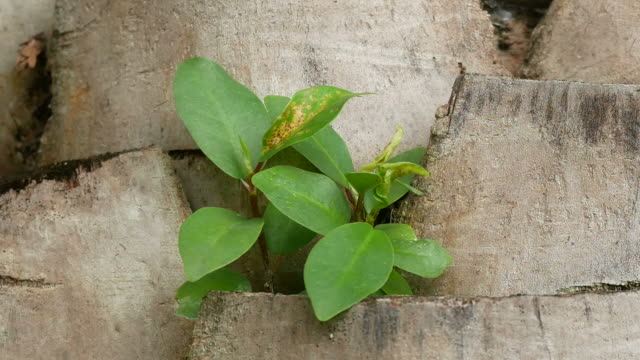 vídeos de stock, filmes e b-roll de broto de crescimento da árvore banyan no porta-malas do palm, planta parasita - estampa de folha