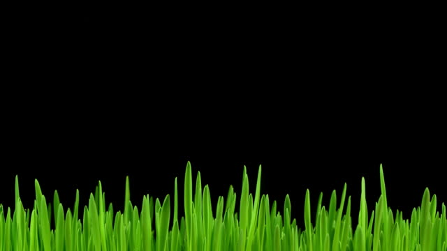 Sprout of grass. Time-lapse