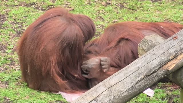 sprout the orangutan from the dudley zoo lays this towel down flat and pulls mom towards it. mom, named jazz, lies down and cuddles with her daughter... - raw footage stock videos & royalty-free footage