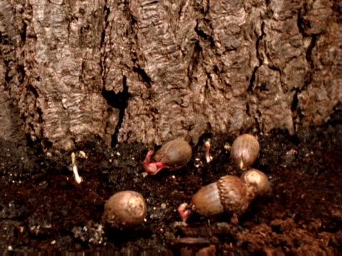 sprouting acorns - artbeats bildbanksvideor och videomaterial från bakom kulisserna