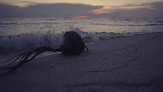 sprouting coconut on sandy beach at sunset, raine island, australia - inquadratura fissa video stock e b–roll