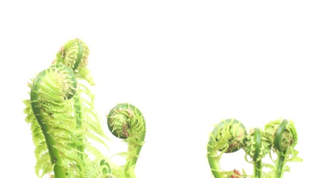 sprouts of the growing fern - fern stock videos & royalty-free footage