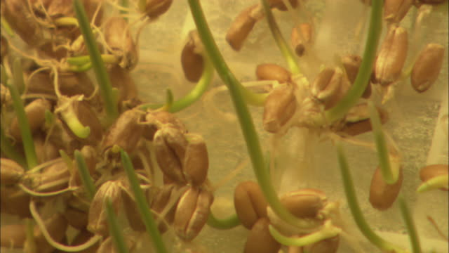 vidéos et rushes de sprouts of wheat grow on a cloth. - cereal plant