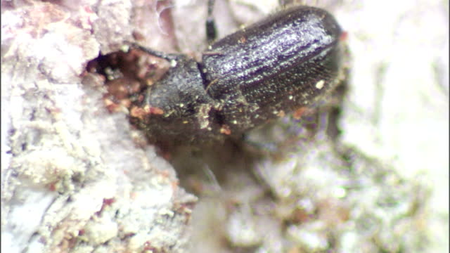 a spruce beetle burrows into tree bark. - plant bark stock videos & royalty-free footage
