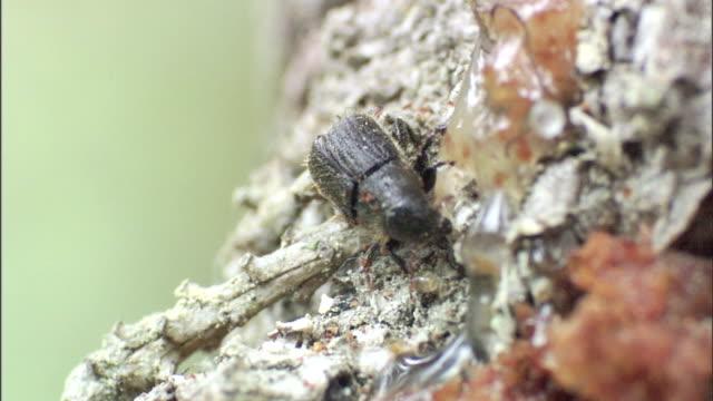 a spruce beetle burrows through sap on a tree. - 木肌点の映像素材/bロール